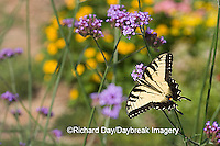 03023-023.16 Eastern Tiger Swallowtail (Papilio glaucus) on  Brazilian Verbena (Verbena bonariensis) Marion Co.  IL