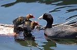 American Coot Feeding Babies, Echo Park, Los Angeles, California