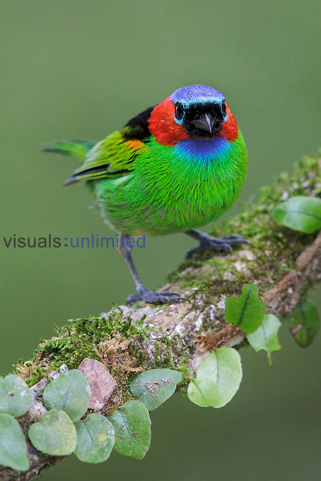 Red-necked Tanager (Tangara cyanocephala), Southeast Brazil.