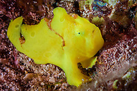 Commerson's frogfish, Antennarius commerson, juvenile, being camouflaged, mimicking a yellow sponge, Kona Coast, Big Island, Hawaii, USA, Pacific Ocean