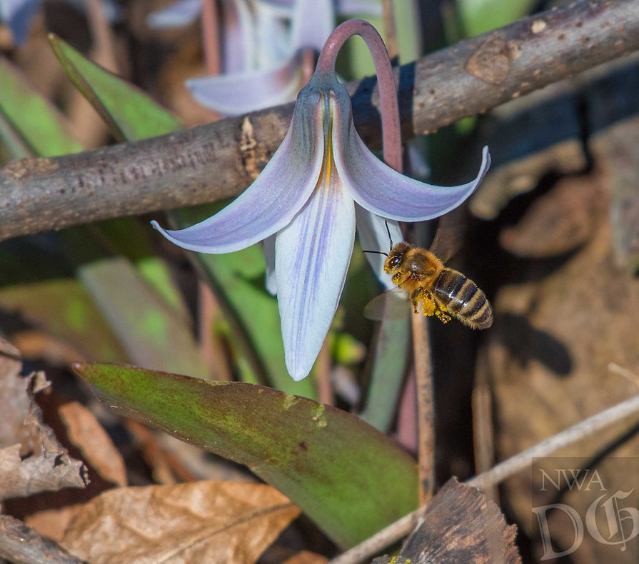 Courtesy photo/TERRY STANFILL<br /> BEE AND BLOSSOM<br /> A bee lands on a trout lily on March 17 at the Eagle Watch Nature Trail at Swepco Lake west of Gentry.