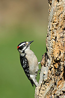 597920006 a wild male hairy woodpecker picoides villosa perches on a large tree stump near lipscomb in the texas panhandle
