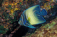 Semi-circle Angelfish, Pomacanthus semicirculatus, showing typical intermediate stage coloration.  Richelieu Rock, Thailand, Andaman Sea, Indian Ocean; underwater; fish portrait; juvenile; juvenile angelfish, color change