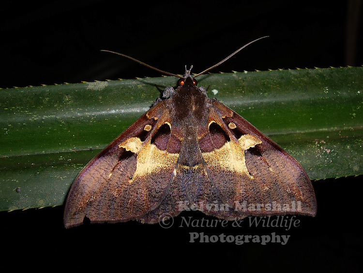 The Noctuidae are sometimes known as owl moths, cutworms and armyworms. The name of this family is derived from the fact that the nocturnal species have eyes, which reflect light with an orange glow.