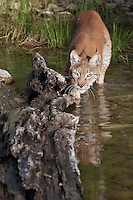 Siberian Lynx watching intently along a log floating in a pond - CA