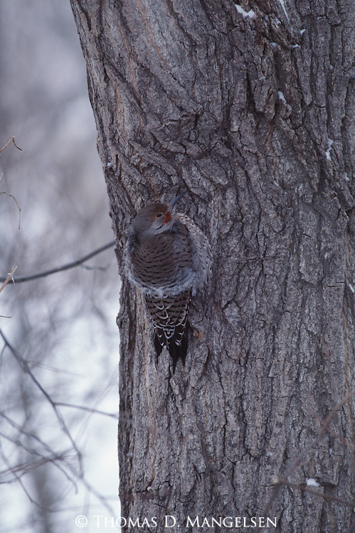Northern Flicker clinging to the side of a tree in Nebraska.