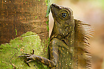 Borneo Anglehead Lizard (Gonocephalus borneensis) male on tree, Tawau Hills Park, Sabah, Borneo, Malaysia