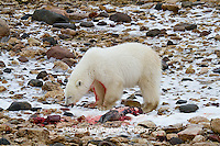 01874-12903 Polar bear (Ursus maritimus) eating Ringed Seal (Phoca hispida)  in winter, Churchill Wildlife Management Area, Churchill, MB Canada