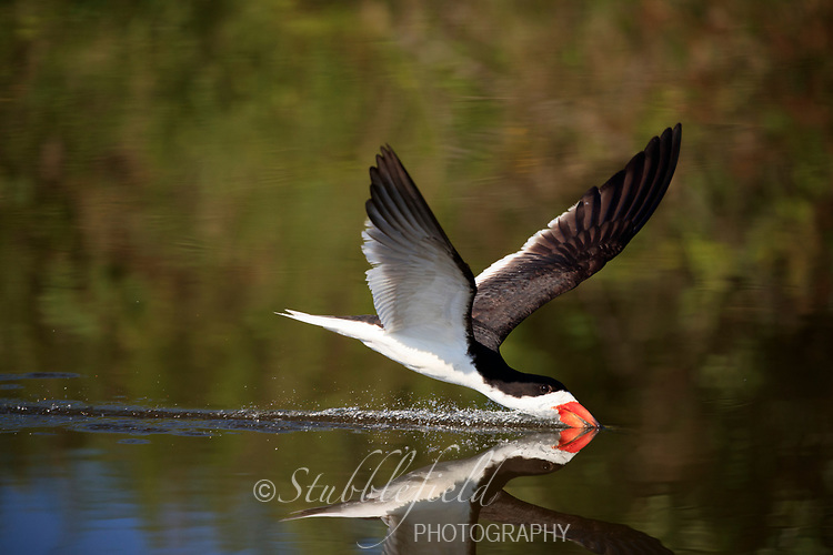 Black Skimmer (Rynchops niger niger), Northern subspecies, adult drinking over a fresh water pond at Nickerson Beach Park, Lido, Long Island, New York.