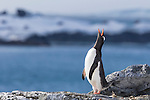 A Gentoo Penguin on Half Moon Island, South Shetland Islands, Southern Ocean, Antarctica