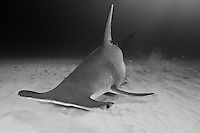 RR2486-Dbw. Great Hammerhead Shark (Sphyrna mokarran), uses broad head like a metal detector, sweeping over the sand bottom. Electroreceptive organs on the underside called the ampullae of Lorenzini allow it to detect weak electric fields given off by fish, even those buried under sand. Bahamas, Atlantic Ocean. Color photo converted to black and white.<br /> Photo Copyright &copy; Brandon Cole. All rights reserved worldwide.  www.brandoncole.com
