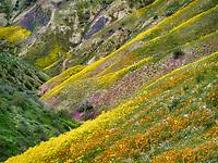 Wildflower covered hillside. Carrizo Plain National Monument, California