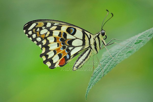 Lemon Butterfly (Papilio demoleus), adult perched on leaf, captive