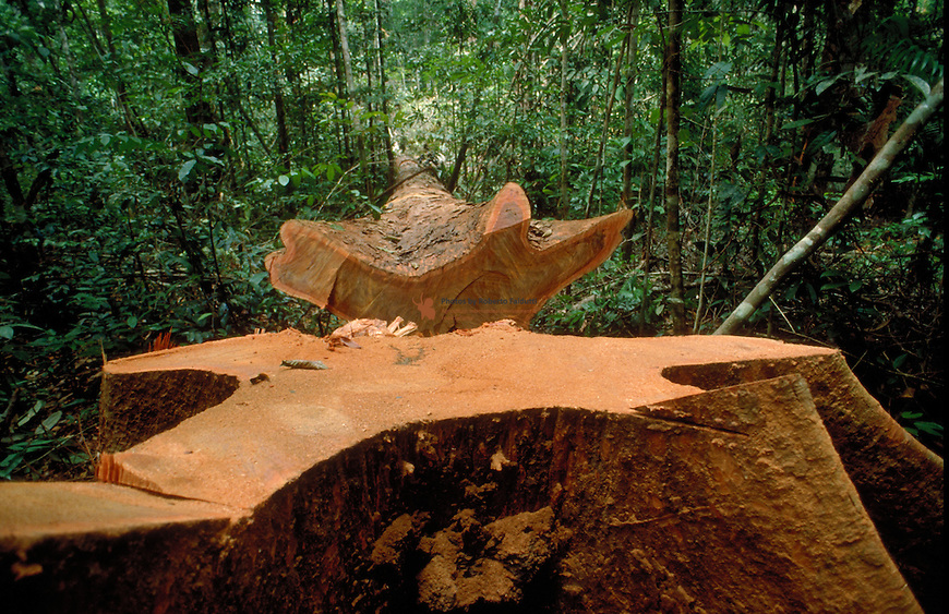 Cut of a tree for timber production