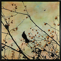 Crow in branch with berries photo transfer over encaustic painting.