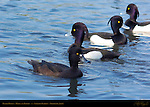 Tufted Ducks, Males and Female, Sankeien Garden, Yokohama, Japan