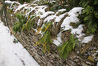 Ferns on stone wall in winter snow, with yellow orange spores on underneath of leaf fronds