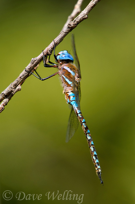 339360059 a wild male blue-eyed darner rhionaeschna multicolor perches on a small tree branch near empire creek las cienegas natural area santa cruz county arizona united states