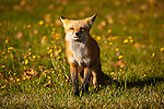 A hungry red fox in Jackman, Somerset County, ME, USA