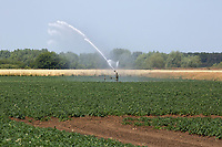 Irrigating potatoes <br /> &copy;Tim Scrivener Photographer 07850 303986<br />      ....Covering Agriculture In The UK....