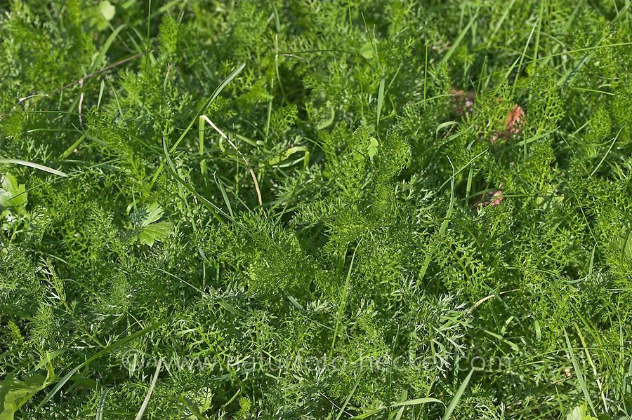 Gewöhnliche Schafgarbe, Wiesen-Schafgarbe, Schafgabe, Blätter, Achillea millefolium, Common Yarrow, Achillée millefeuille