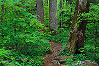 Yellow poplars,  Joyce Kilmer Memorial Loop Trail<br /> Joyce Kilmer Slickrock Wilderness<br /> Nantahala National Forest,  Unicoi Mountains<br /> Appalachian Mountains,  North Carolina