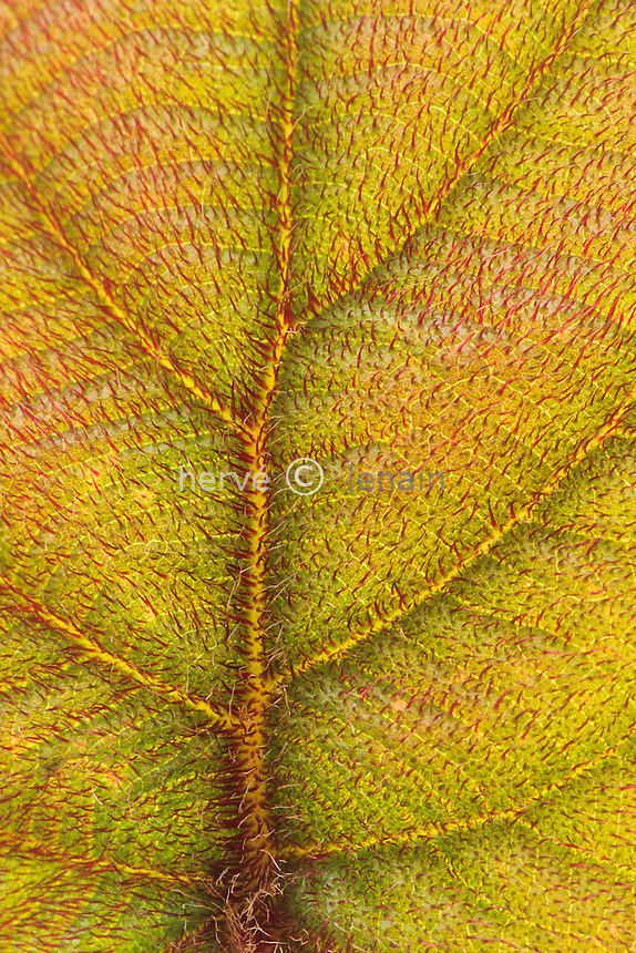 Actinidia deliciosa = A. chinensis, jeune feuille // Actinidia deliciosa = A. chinensis, close-up of a young leaf