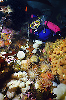 Scuba Diver in a garden of colorful Anemones at Race Rocks, near Victoria, British Columbia, Canada.