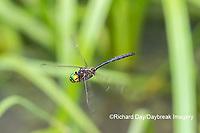 Hine's Emerald (Somatochlora hineana) male patrolling (in flight) Reynolds Co. MO
