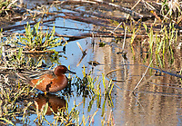 Male Cinnamon Teal, Anas cyanoptera, at Lower Klamath National Wildlife Refuge, Oregon
