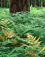 Ferns in a Ponderosa Pine forest in the White Mountains; Apache-Sitgreaves National Forest, AZ