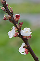 Blossom of Apricot 'Tomcot', late March.