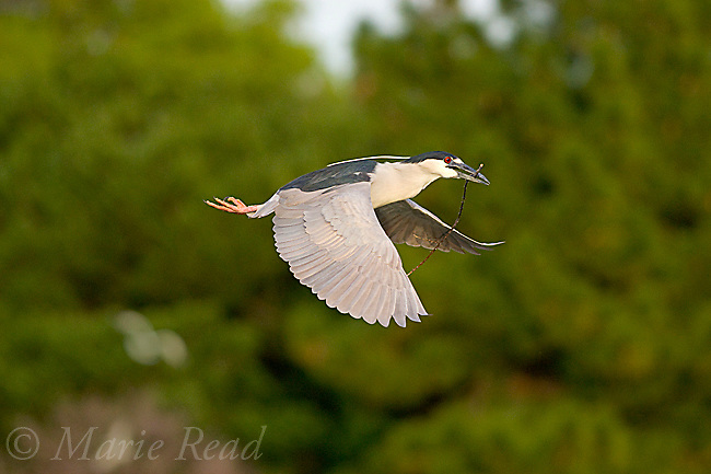 Black-crowned Night-Heron (Nycticorax nycticorax), carrying stick as nest material in flight, California, USA