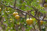 Sodomsapfel, Sodoms-Apfel, Früchte, Solanum sodomeum, Solanum linnaeanum, Devil's Apple, Apple of Sodom, Solanaceae, Nachtschattengewächse