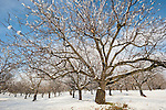 Bare trees in a walnut orchard with snow, Shenandoah Valley, Calif.