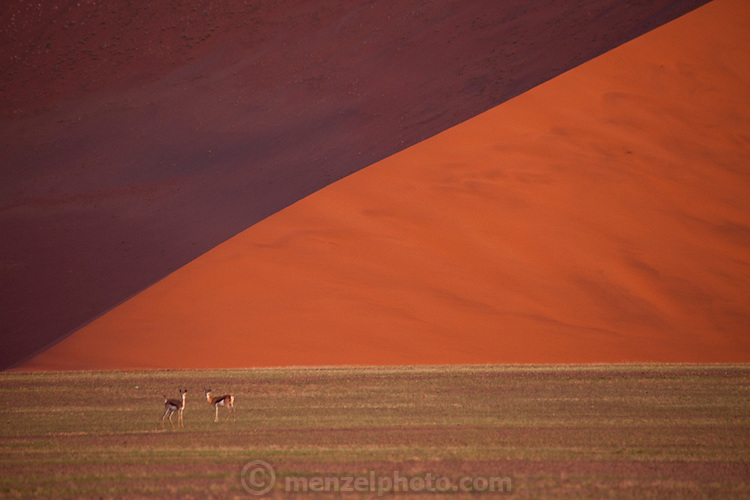 Springbok at Sossusvlei in southwestern Namibia. Sossusvlei is a clay pan in the central Namib Desert, lying within the Namib-Naukluft National Park, Namibia. Fed by the Tsauchab River, it is known for the high, red sand dunes which surround it forming a major sand sea. Vegetation, such as the camelthorn tree, is watered by infrequent floods of the Tsauchab River, which slowly soak into the underlying clay. (from Wikipedia).