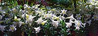 White Easter Lillies, Botanical,  Panorama, Balboa Park, San Diego, Ca