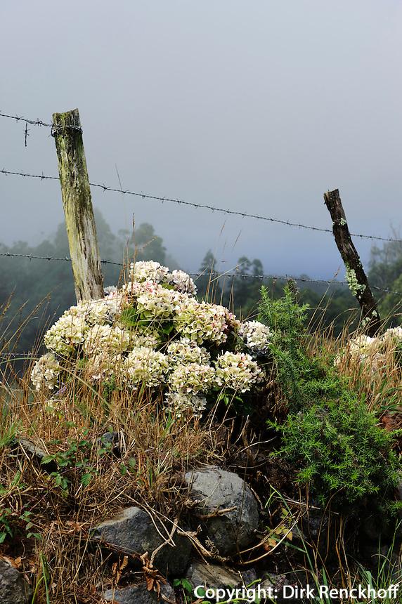 Weide bei Santo Espirito, Hortensie (Hydrangea) auf der Insel Santa Maria, Azoren, Portugal