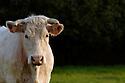 04/05/06 - VINZELLES - PUY DE DOME - FRANCE - Elevage bovin allaitant. Vache Charolaise - Photo Jerome CHABANNE