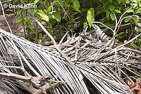 0626-1114  Camouflaged Black Spiny-tailed Iguana (Black Iguana, Black Ctenosaur), On Half-moon Caye in Belize, Ctenosaura similis  © David Kuhn/Dwight Kuhn Photography