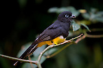 White tailed Trogon on the branch in the rain forest