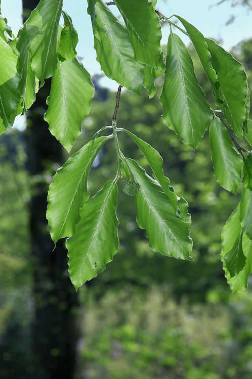 Oriental Beech Fagus orientalis (Fagaceae) HEIGHT to 23m Leaves are larger than those of Common Beech and widely separated, with 7 or more pairs of veins. A native of the Balkans, Asia Minor and the Caucasus, rare elsewhere. Grows vigorously and forms a fine tree in good conditions.