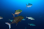 The black jack, Caranx lugubris (also known as the black trevally, black kingfish, coal fish and black ulua), is a species of large ocean fish in the jack family