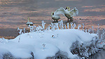 USA, Wyoming, Yellowstone National Park, trumpeter swan (Cygnus buccinator)