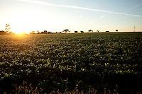 Patos de Minas_MG, Brasil...Plantacao de milho em Pato de Minas, Minas Gerais...Cornfield in Pato de Minas, Minas Gerais...Foto: LEO DRUMOND / NITRO