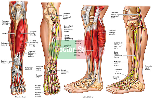 Normal Anatomy of the Left Lower Leg. Includes labels for muscles, bones, nerves and arteries of the knee, leg and foot.