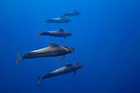 short-finned pilot whales, Globicephala macrorhynchus, Kona Coast, Big Island, Hawaii, USA, Pacific Ocean