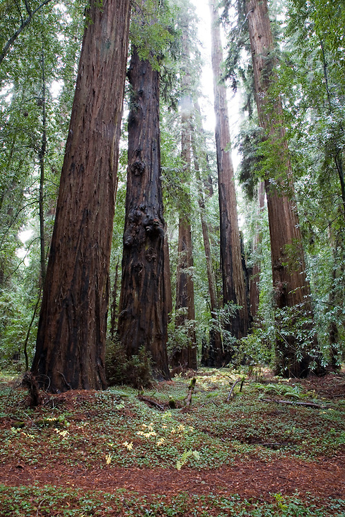 Ancient redwoods in Hendy Woods State Park near Philo in the Anderson Valley, Mendocino County