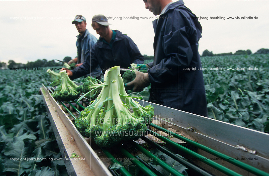 GERMANY, seasonal farm worker harvest brocoli at farm / DEUTSCHLAND, Erntehelfer ernten Brocoli Gemuese