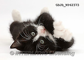 Kim, ANIMALS, REALISTISCHE TIERE, ANIMALES REALISTICOS, fondless, photos,+Black-and-white kitten, Solo, 7 weeks old, lying on his back and looking cute,++++,GBJBWP42373,#a#